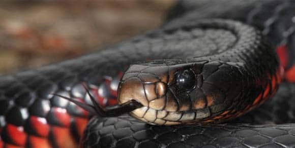 Warm weather has snakes on the move across Queensland