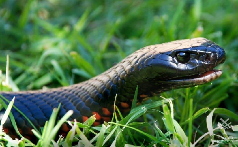 Snake Alert in Queensland